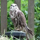 Peregrine Falcon I think