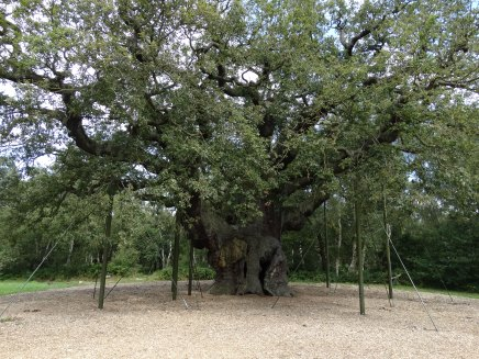 Major Oak - you can just see the opening to the cavity in the trunk