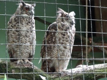 Some tough looking owls