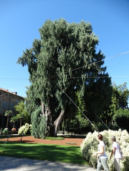 Tibetan cypress