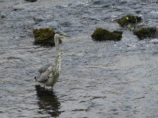 Grey crane in River Wye