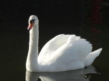 one of our swans