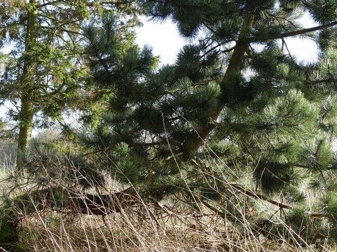 Stunted pines